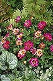 Rose Sunshine Babylon - Kräftig entwickelte Pflanze im 6lt-Topf