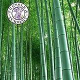 Portal Cool Seltene Riesen Phyllostachys Pubescens Moso Bambus Perennial 5 Samen Uk Verkäufer