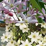 2 Immergrüne Clematis Kletterpflanzen: Clematis Apple Blossom & Clematis Early Sensation - 1,5 Liter Topfen - Weiß & Immergrün | ClematisOnline Kletterpflanzen & Blumen