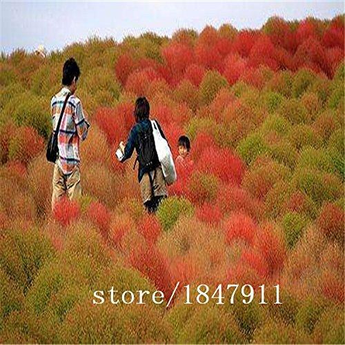 Galleria fotografica Grande vendita di vendita calda 500pcs piante semi Kochia bonsai giardino di casa fai da te di semi di erba