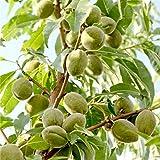ALBERO DI MANDORLO BIANCO CON IL GUSCIO TENERO - pianta vera da frutto da esterno
