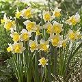 Narzisse Golden Echo von Meingartenshop bei Du und dein Garten