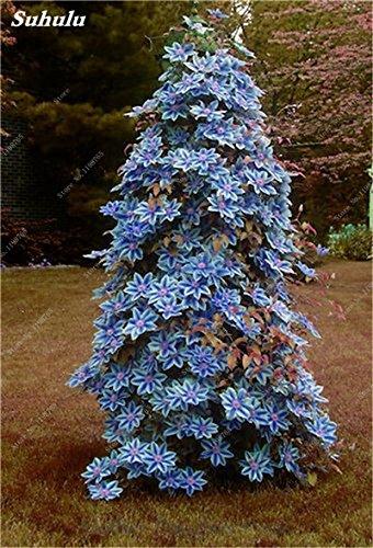 100 Pcs Clematis Graines de plantes Belle Paillage Graines de fleurs Bonsai ou un pot de fleurs vivaces pour jardin Mix 6 Couleurs