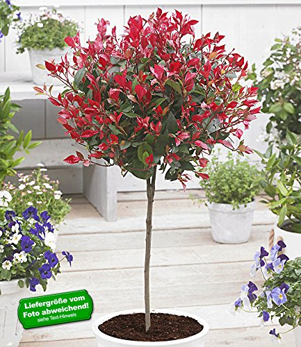 baldur-garten-immergrnes-photinia-stmmchen-little-red-robin-1-pflanze-glanzmispel