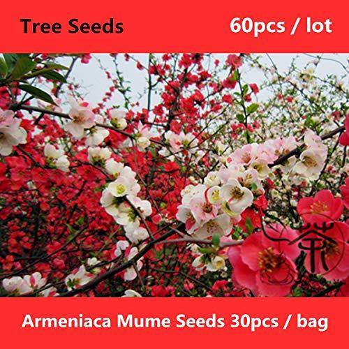 Shopmeeko ^^ Blühende Pflaume Armeniaca Mume ^^^^ 60pcs, Zierbaum Meihua Chinesischer Pflaumenbaum ^^^^, Schönheit Pflaumenblüte Prunus Mume ^^^^