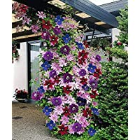 Mix Clematis Large Bloom Flower 50+ Seeds Pack ~ Vine Seeds