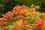 Pontische Azalee Sunny Boy Rhododendron orange-rot blühend Lieferhöhe 40-50 cm im Topf