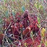 ScoutSeed Sarracenia purpurea {Abitibi-Témiscamingue, QC}, semi di piante carnivore, 10s