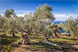 Poster 90 x 60 cm: Alte Olivenbäume auf Mallorca (Spanien)