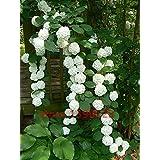 20 semillas de semillas / bolsa de hortensias, hortensias china, flores de hortensia bonsai, 11 colores semillas de flores, d