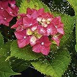 Artland Qualitätsbilder I Wandtattoo Wandsticker Wandaufkleber 80 x 80 cm Botanik Blumen Hortensie Foto Pink Rosa B5XP Hortensie