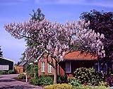 Blauglockenbaum (Paulownia fortunei) Fast Blue® blau blühend. 1 Pflanze