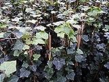 Irischer Efeu - Hedera helix - Hibernica Kletterpflanze, Bodendecker, sehr robust, immergrün, schnellwüchsig, 40-60 cm