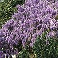Blauregen, veredelt, 2 Pflanzen von Amazon.de Pflanzenservice bei Du und dein Garten