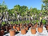 Vitis Vinifera Chardonnay 130-160 cm knorrige Weinrebe Weinstock Weintraube