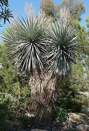 PLAT FIRM 10 Samen von Yucca rigida'Blatt Yucca'' Blue Yucca' Hardy Deert india