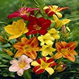 #9: Day Lilly Flower Bulbs (Mix) - Pack of 5 Bulbs by Gate Garden