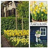 Plant & Bloom Blumenzwiebeln aus Holland, 35 Zwiebeln - Narcissus Botanical - Einfach zu züchtende Narzissen - Zum Pflanzen im Herbst - Holländische Qualität - Gelb-weiße Blüten - Landschaftstasche