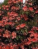 Baumschule Anding Japanischer Blumen-Hartriegel Cornus kousa - Satomi - -R- -40-60 cm