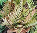 Rotschleierfarn - Dryopteris erythrosora von Baumschule - Du und dein Garten