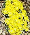 BALDUR-Garten Winterharter Bodendecker Goldtaler, 2 Pflanzen Delosperma congestum von Baldur-Garten auf Du und dein Garten