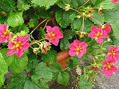 RARITÄT - Himbeer-Erdbeere Aussergewöhnliche Kreuzung Frosthart und mehrjährig 3 Pflanzen in Baumschulqualität von Lifestyle-Hamburg Pflanzenraritäten bei Du und dein Garten