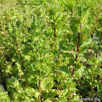 lichtnelke - Krause Minze ( Mentha spicata var. Crispa) Tb14 von Lichtnelke Pflanzenversand bei Du und dein Garten