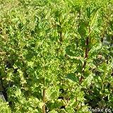 lichtnelke - Krause Minze ( Mentha spicata var. Crispa) Tb9