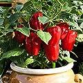 """Gartenbau Friedrich Premium Gemüse-Pflanze Balkonpaprika """"Red Skin"""" rot im 10,5er Topf ist eine kompakt wachsende Sorte mit einer Höhe von 50-60 cm und daher perfekt für Töpfe geeignet. von Gartenbau Friedrich - Du und dein Garten"""