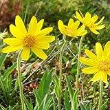 Arnica Alpina Seeds