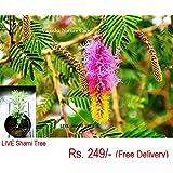 LIVE Shami Tree (Banni Tree) -Hindi name-Chikur, Rhejri, Chonkar, Sami, Shami, Chinkur, chokara, chonkara, chounkar, chourkara, sepada, taant, safet kikar, shame, jhand kannada name – Banni mara, Banni ele, Shamee patre, Perumbe, Perunje, Vunne, vanni Kashanti Telugu name-Jammi chettu Marathi name – Saunder, savandad, shamee, shambaree Bengali name – Shami, Punjabi name – Jund, Bishnois, Janti Gujarati name – Samadi, Khijadi Tamil name – Vanni, Jambu, kalisam, kulisam