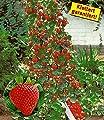BALDUR-Garten Kletter-Erdbeere 'Hummi®', 3 Pflanzen Fragaria von Baldur-Garten auf Du und dein Garten