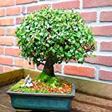 Ulmen Bonsai in Baumform 20cm - 1 baum