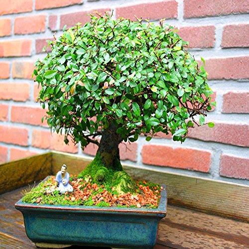 Bonsaï Orme Ulmus parvifola 20cm - 1 arbre