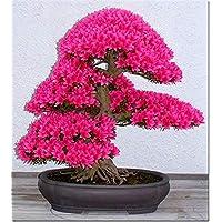 Baumsamen 20 Ahornsamen Bonsai Blau Pflanzen Samen Balkon Ahorn