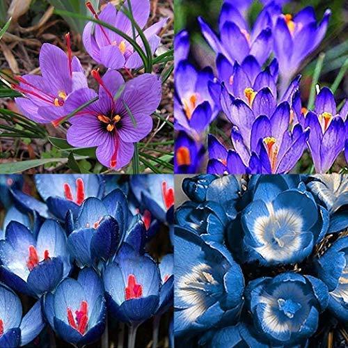 Xianjia Garten - 50 stücke Garten Safran Blumensamen, Mehrjährige Blumenzwiebel Samen Schöne Safran Zierblumen saatgut (10)