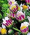 BALDUR-Garten Winterharter Bodendecker Afrikanisches Ringkörbchen, 4 Pflanzen Anacyclus depressus von Baldur-Garten - Du und dein Garten