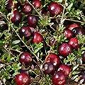 Cranberry (Moosbeere), 6 Pflanzen von Amazon.de Pflanzenservice - Du und dein Garten