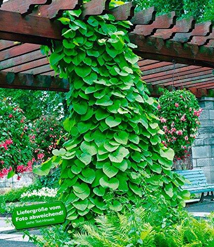 BALDUR-Garten Pfeifenwinde 1 Pflanze Aristolchia macrophylla Kletterpflanze winterhart