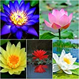 #8: Lotus Flower Seeds ( 25Pcs- 5 Colors Pack ) Red Pink Blue Yellow White in Seperate Packs - BEE Garden Organic