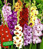 BALDUR-Garten Riesen-Gladiolen-Mix,30 Zwiebeln Gladiolus Mischung -