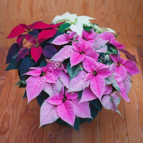 Tout neuf! 100 pcs Graines de poinsettia, Euphorbia pulcherrima, les plantes en pot, rares graines de plantes à fleurs pour la décoration hjome - Arcis nouvelles