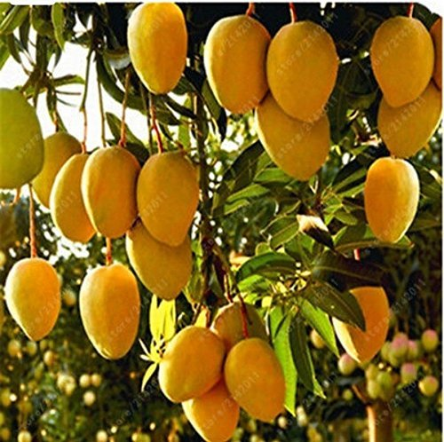 SHOP 360 GARDEN - 2 feet height Rare Banganapalle mango 'The King of Mangoes' Mango fruit Plant (1 Healthy Plant)