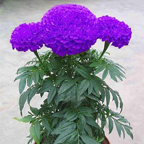 WuWxiuzhzhuo Paquet de 100 graines de souci - Violet - Fleur de plante en Pot - Décoration de Maison et Jardin
