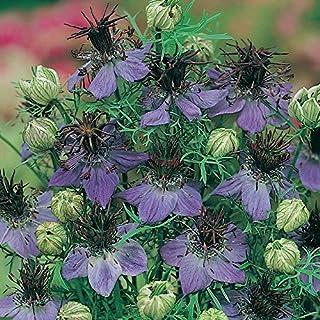 Herb Seeds - Fennel Flower - 4000 Seeds
