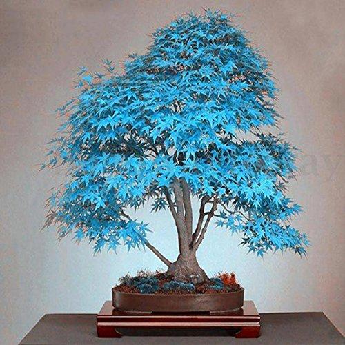 20 pcs Bleu japonais Érable Arbre bonsaï Graines de plantes de balcon pour Home Garden Plante décorative Air Purfication Fournitures