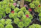 Garten-Moos-Steinbrech Saxifrage x arendsii Harder Zwerg Topfware 5 Stück