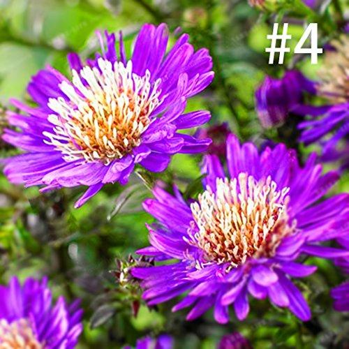 mymotto 100 pcs/Sac Aster Chrysanthème Graines Bonsaï Plantes Graines De Fleurs Maison Jardin (# 4)