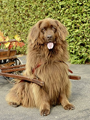 Artland Qualitätsbilder I Poster Kunstdruck Bilder 60 x 80 cm Tiere Haustiere Hund Foto Braun B7KZ Tier Hund