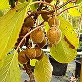 Kiwi Jenny Kiwibaum 60-100 cm Actinidia Obstbaum Rarität selbstfruchtend winterhart